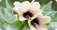 Image of the noxious weed Black Henbane