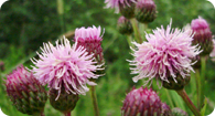 Image of the noxious weed Canada Thistle