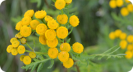 Image of the noxious weed Common Tansy