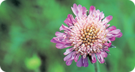Image of the noxious weed Field Scabious