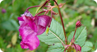 Image of the noxious weed Himalayan Balsam