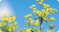 Image of the noxious weed Leafy Spurge