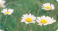image of an oxeye daisy