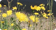 Image of the noxious weed Perennial Sow-Thistle