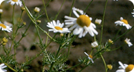 Image of scentless chamomile noxious weed