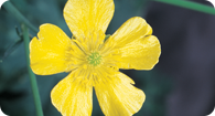 Image of the noxious weed Tall Buttercup
