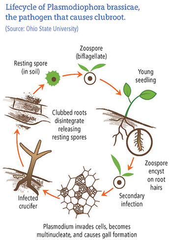 Lifecycle of Plasmodiophora brassicae, the pathogen that causes clubrood. Source: Ohio State University. Resting spore (in soil); Zoospore (biflagellate); Young seedling; Zoospore encyst on root hairs; Secondary infection; Plasmodium invades cells, become