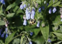 ph-UT-tall-lungwort-with-bee-210x150.jpg