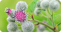 Image of the noxious weed Greater Burdock