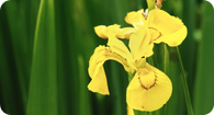Image of the noxious weed Pale Yellow Iris