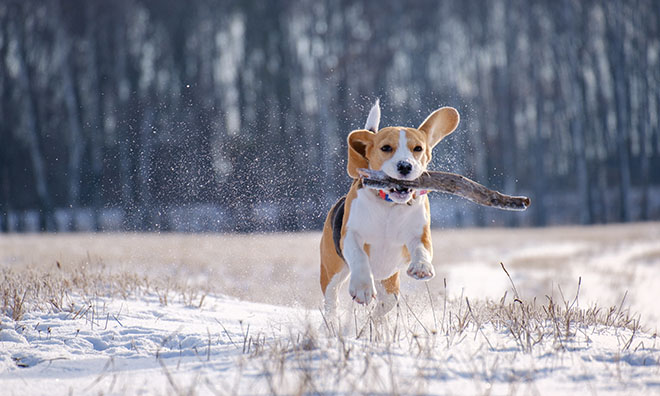 Medium sized dog running with a large stick in snowy grass.