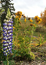 Lupins in foreground, yellow flowers in background