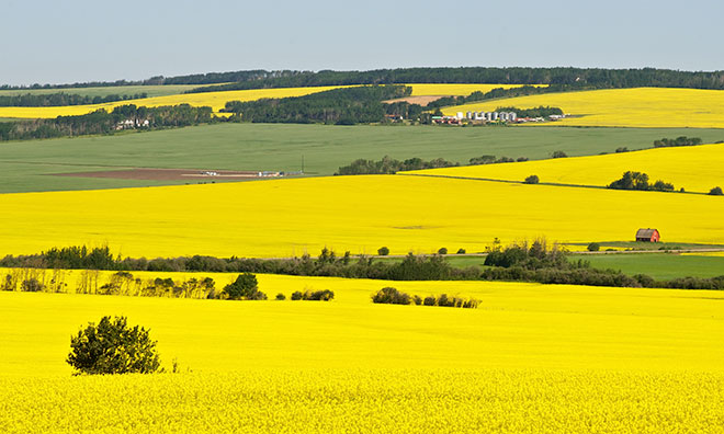 Canola fields in the summer