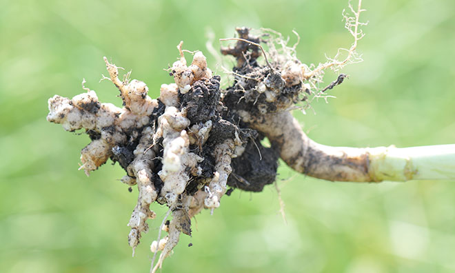 Image showing an example of a root infected with clubroot