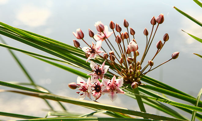 Image of flowering rush which is an invasive species