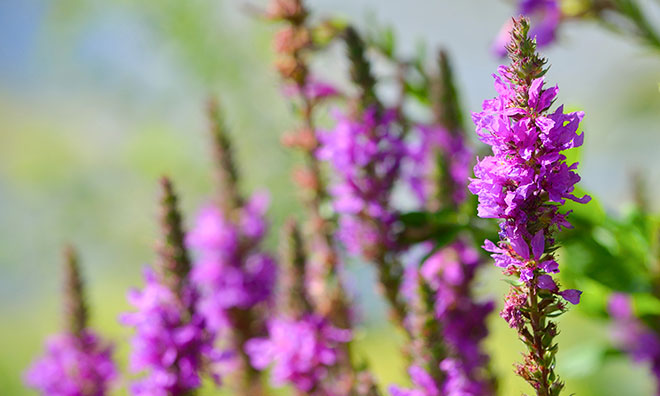 Image of the ornamental invasive plant purple loosestrife