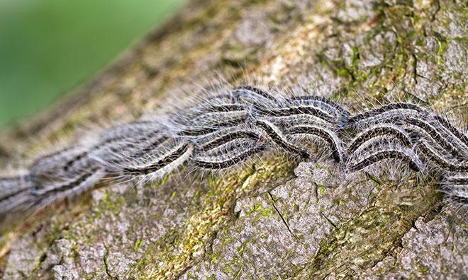 Tree pests   Strathcona County
