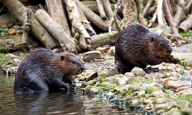 Beavers by a pond