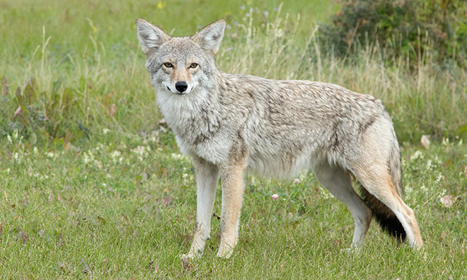 Image of a coyote in a field