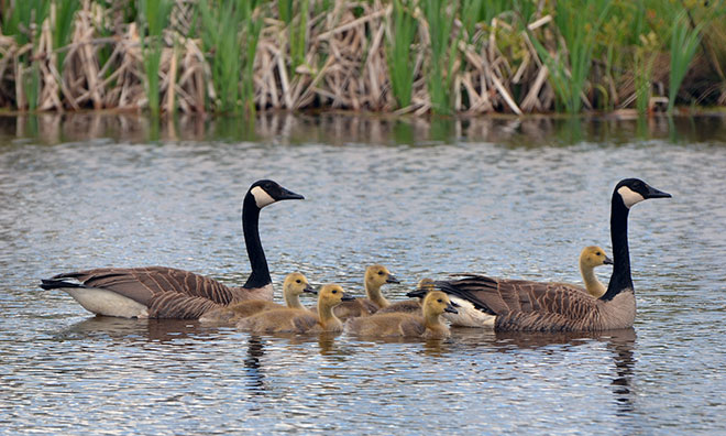 Family of geese swimming in a lake