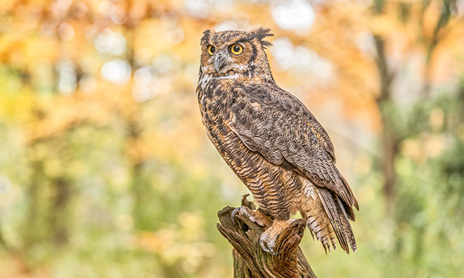 image of a great horned owl sitting on a tree stump
