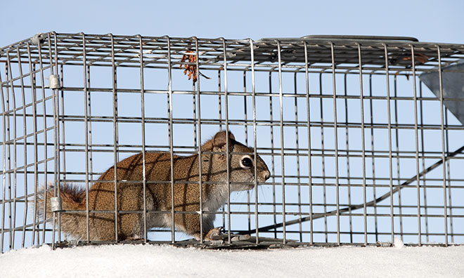Image of a squirrel in a trap