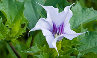 Image showing the invasive species jimsonweed